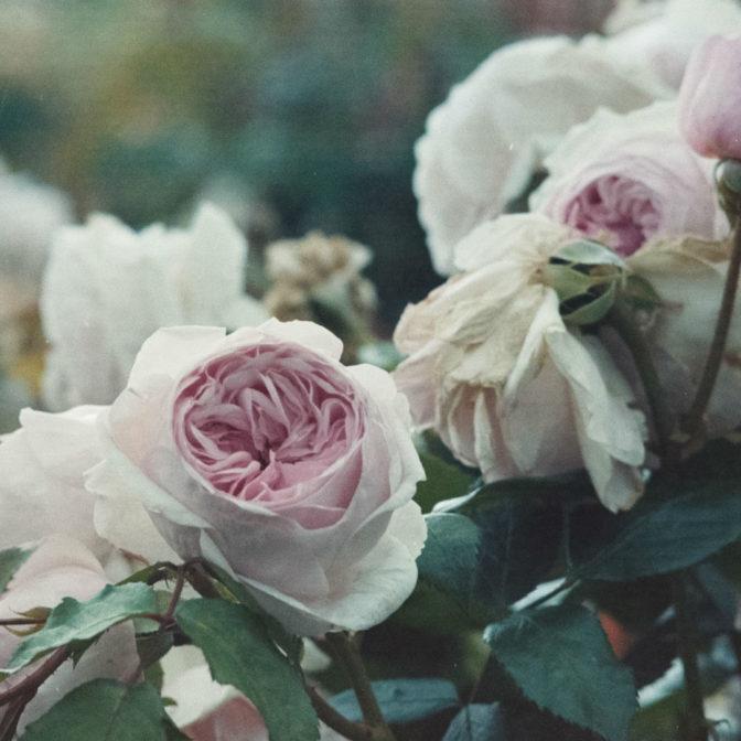 Olejek z róży damasceńskiej: naturalny wzmacniacz kosmetyków